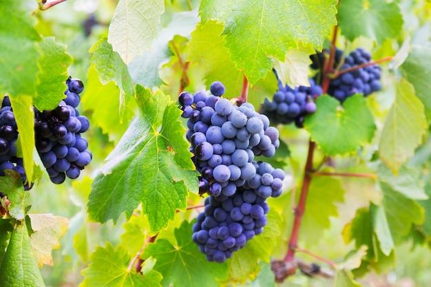 Cacho de uvas na fábrica de vinhas