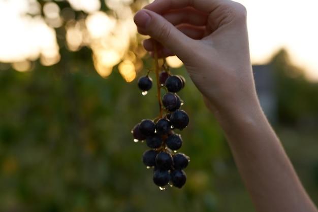 Cacho de uvas natureza fruta folhas verdes