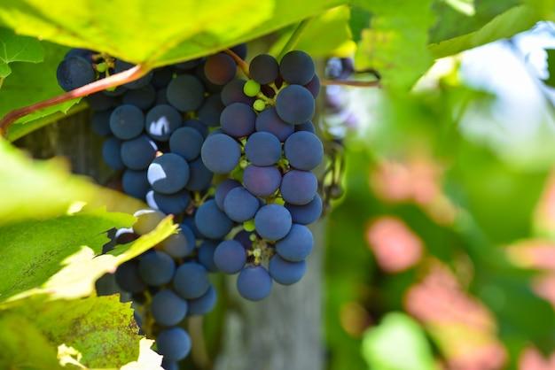 Cacho de uvas roxas jovens em um galho
