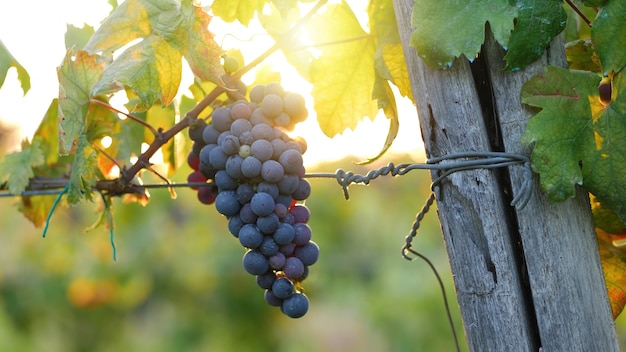 Cacho de uvas vermelhas. luz do sol com o sol no fundo. o clarão e a luz quente indicam o período de colheita das uvas para a produção de vinho.