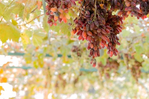 Cacho de uvas vermelhas maduras na videira