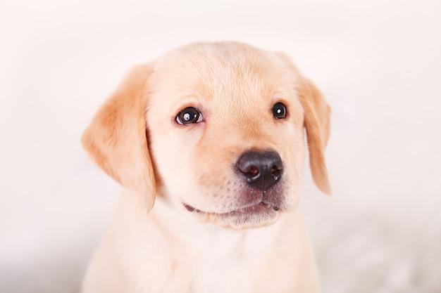 Cachorrinho amarelo bonito da mistura do lebreiro de labrador no branco