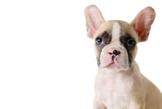 Cachorrinho bonito do buldogue francês que olha isolado