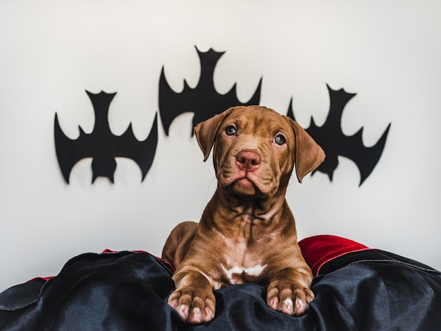 Cachorrinho bonito do pitbull, encontrando-se em um tapete preto, decoração de dia das bruxas