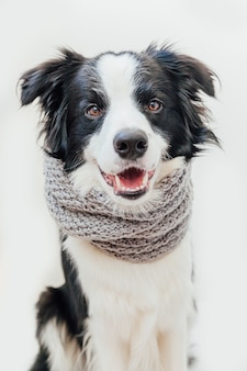 Cachorrinho border collie com lenço de roupas quentes em volta do pescoço, isolado no fundo branco