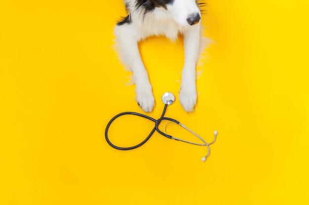 Cachorrinho border collie e estetoscópio isolados em fundo amarelo. cão pequeno na recepção no médico veterinário na clínica veterinária. cuidados de saúde de animais e conceito de animais