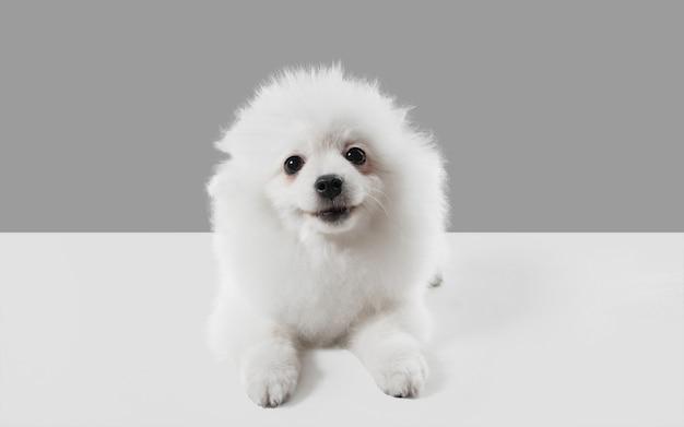 Cachorrinho branco brincalhão fofo ou animal de estimação brincando no estúdio cinza