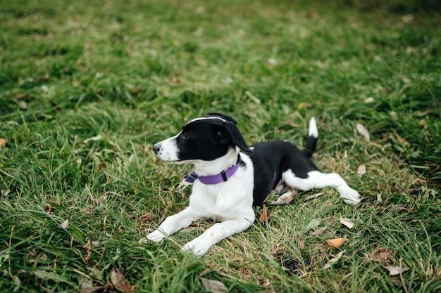 Cachorrinho branco preto pequeno deitado na grama.