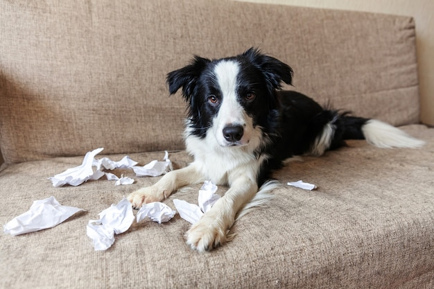 Cachorrinho brincalhão travesso border collie após travessura mordendo papel higiênico deitado no sofá em casa. cachorro culpado e sala de estar destruída. danificar a casa bagunçada e o cachorro com um olhar engraçado de culpa.