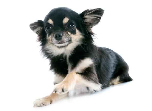 Cachorrinho chihuahua