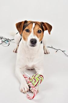 Cachorrinho com bastões de doces de natal colorido e pirulito