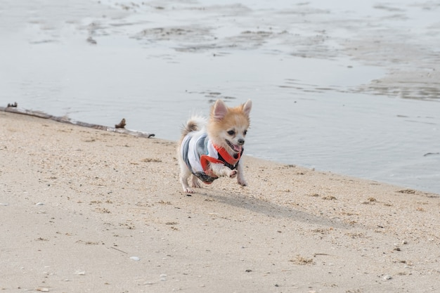 Cachorrinho da pomerânia correndo na praia