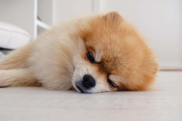 Cachorrinho da pomerânia dormindo no chão