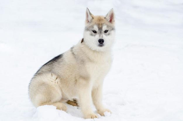 Cachorrinho da raça husky siberiano. cão husky tem cor bege e preto casaco