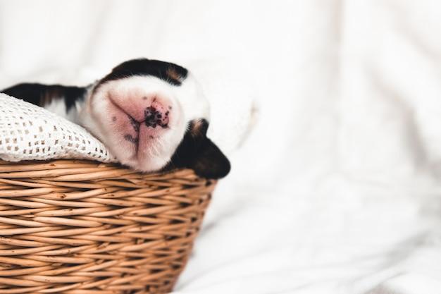 Cachorrinho de bernese mountain dog em uma cesta. animais fofos.
