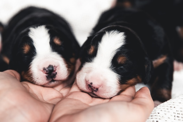 Cachorrinho de bernese mountain dog na cama. animais fofos