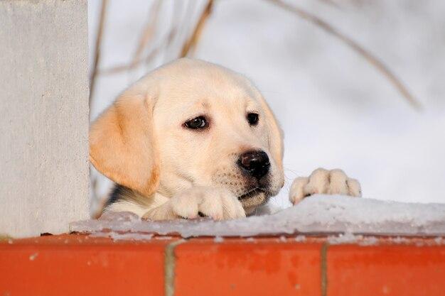 Cachorrinho de labrador na neve na estação do inverno.