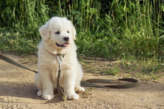 Cachorrinho do cão da montanha dos pirenéus com uma longa guia sentado no chão ao ar livre
