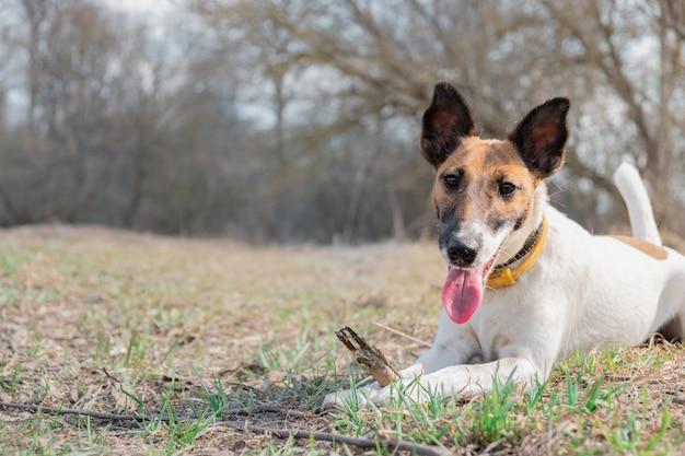 Cachorrinho do fox terrier que mastiga uma vara em um parque, opinião do retrato.