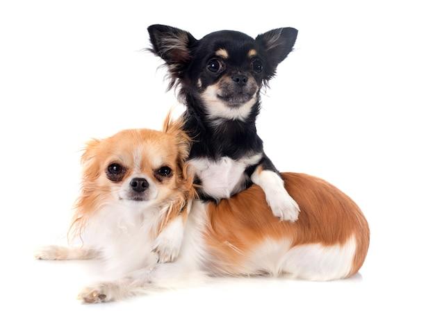 Cachorrinho e adulto chihuahua