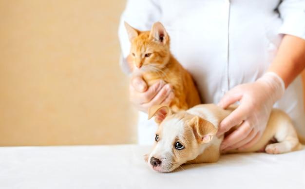 Cachorrinho e gatinho nas mãos do médico veterinário na clínica de animais