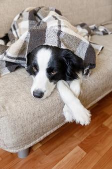 Cachorrinho engraçado border collie deitado no sofá sob a manta dentro de casa