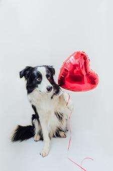 Cachorrinho engraçado border collie segurando um balão de coração vermelho na pata isolado no fundo branco