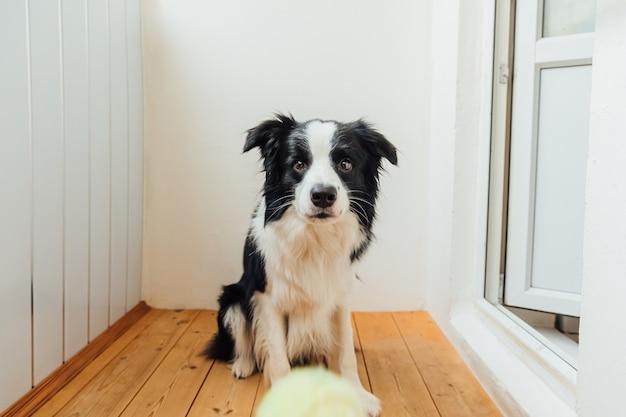 Cachorrinho engraçado border collie segurando uma bola de brinquedo na boca