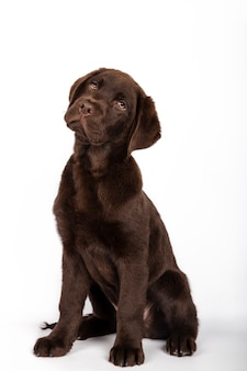 Cachorrinho engraçado chocolate de 3 meses de raça colorida de labrador colorido que senta-se olhando atentamente para a câmera na imagem branca do vertical do fundo.