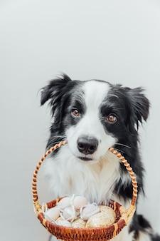 Cachorrinho fofo border collie segurando uma cesta com ovos coloridos de páscoa na boca, isolado no fundo branco