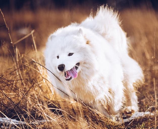 Cachorrinho fofo branco samoiedo cachorro correndo lá fora