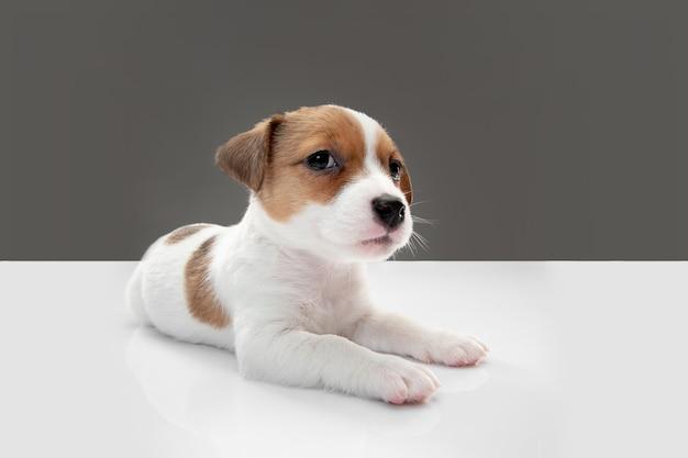Cachorrinho fofo e pequeno posando alegre isolado em cinza