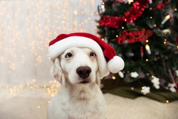Cachorrinho fofo que celebra o natal com um chapéu de papai noel vermelho.