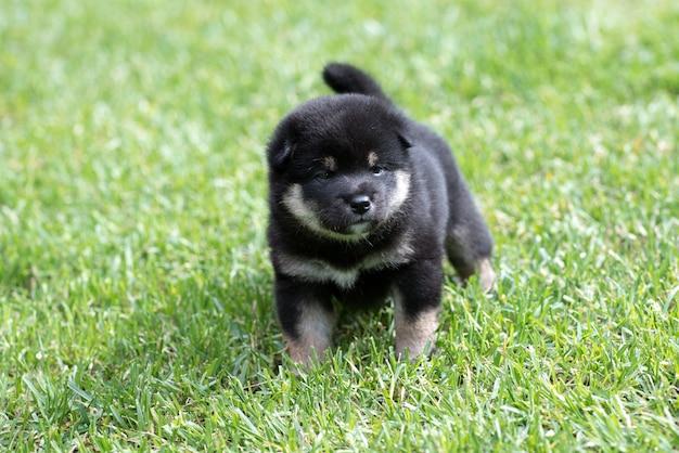 Cachorrinho fofo shiba inu bronzeado na grama