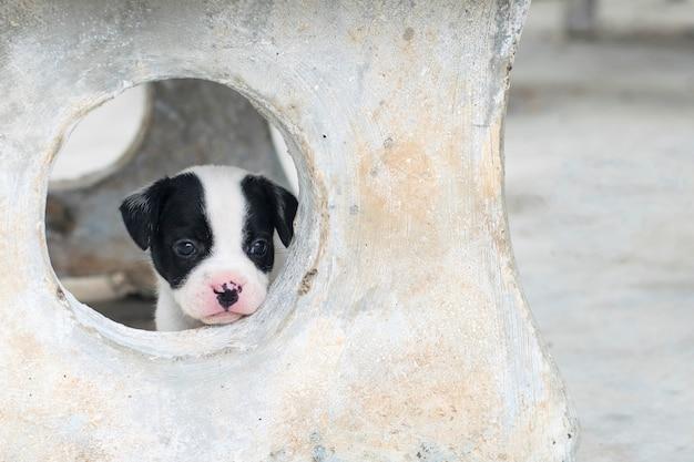 Cachorrinho fofo solitário bulldog francês, olhando pela janela