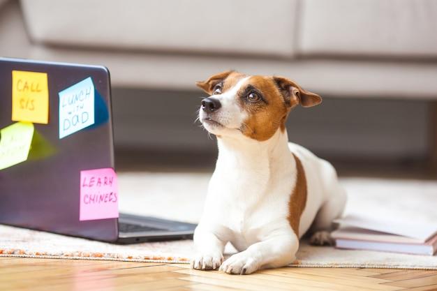 Cachorrinho interior. animal de estimação no laptop. cão bonito, tendo muitas tarefas humanas para fazer. sobrecarregado jack rassel terrier está ocupado.