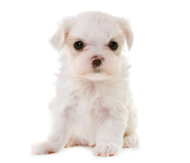 Cachorrinho maltês