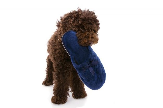 Cachorrinho mordendo um chinelo azul.