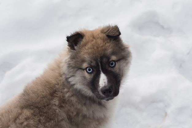 Cachorrinho ronco pequeno que joga na neve.