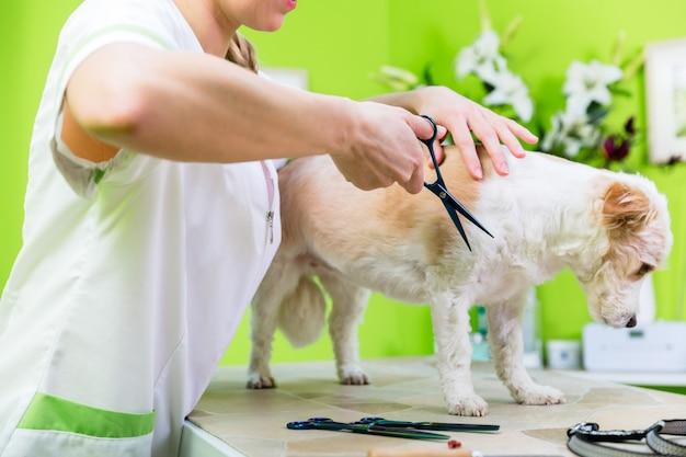 Cachorrinho sendo furdressed ny mulher na sala de visitas