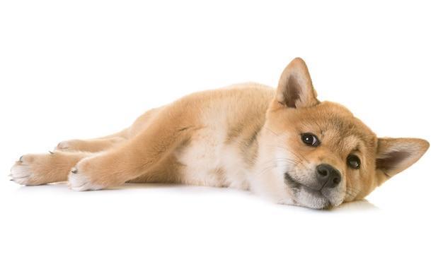 Cachorrinho shiba inu