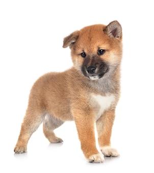 Cachorrinho shiba