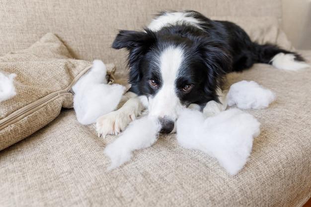 Cachorrinho travesso border collie após travessura mordendo travesseiro deitado no sofá em casa