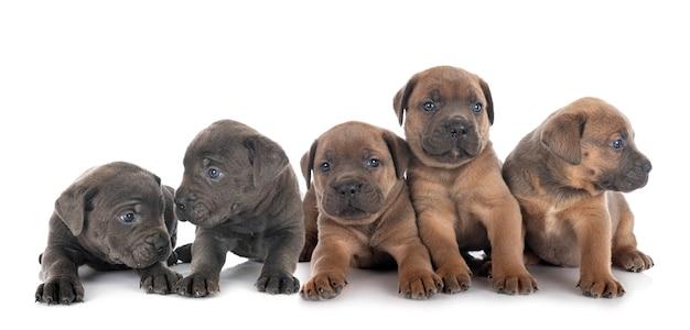 Cachorrinhos de mastim italiano em frente a um fundo branco