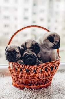 Cachorrinhos do cão do pug que sentam-se na cesta. cachorrinhos se divertindo. cães reprodutores