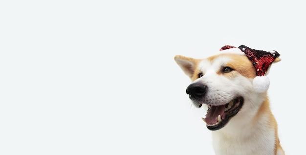 Cachorro akita comemorando o natal com um chapéu de papai noel de lantejoulas