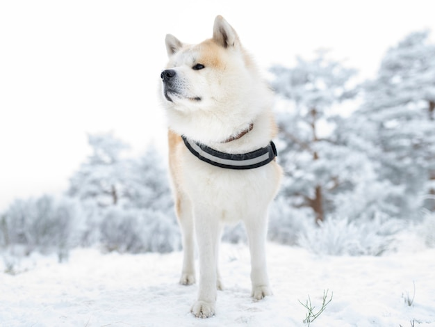 Cachorro akita inu com arreio, na neve