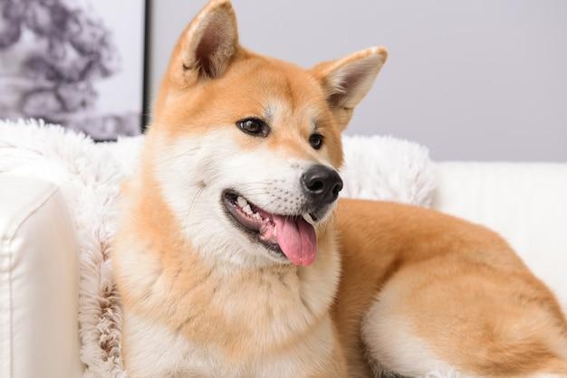 Cachorro akita inu fofo no sofá em casa