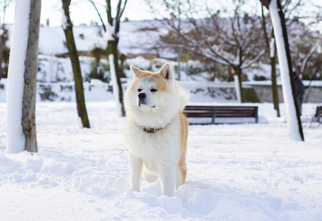 Cachorro akita inu na neve com olhar profundo