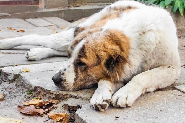 Cachorro alabai descansando no chão raça pastor centro-asiático